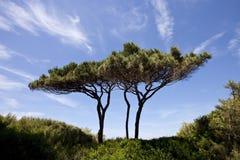 Sonnenschirm-Kiefer Lizenzfreies Stockbild