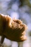 Sonnenschirm-Pilz lizenzfreies stockbild
