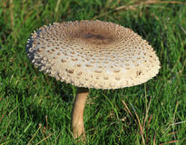 Sonnenschirm-Pilz (Macrolepiota Procera) Lizenzfreies Stockbild