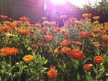 Sonnenstrahl über dem Bett von Ringelblumen im Garten Stockfotografie