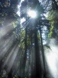 Sonnenstrahlen durch Küste Redwods Lizenzfreie Stockbilder