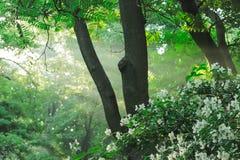 Sonnenstrahlen gießen durch Bäume morgens lizenzfreies stockbild