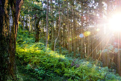 Sonnenstrahlen im grünen Wald Stockfotos