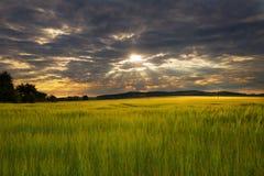 Sonnenstrahlen und Kornfeld Lizenzfreie Stockfotos