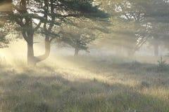 Sonnenstrahlen zwischen Kiefern am nebeligen Morgen lizenzfreies stockfoto