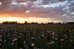 Sonnenuntergang über blühendem Irisfeld Stockbilder