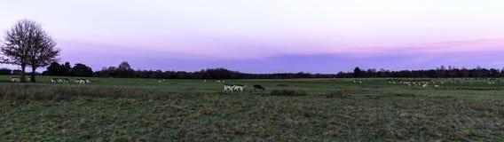 Sonnenuntergang über dem Tatton-Park mit Herde von Rotwild im Hintergrund - Tatton-Park-Gärten, Knutsford, Großbritannien Stockfotos