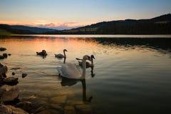 Sonnenuntergang über dem Wasser und den Schwänen Stockfotografie