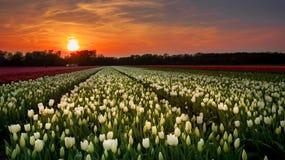 Sonnenuntergang über den niederländischen tulps Feldern, lizenzfreies stockfoto