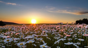 Sonnenuntergang über einem Feld der Kamille Lizenzfreies Stockbild
