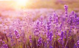 Sonnenuntergang über einem Lavendelfeld lizenzfreie stockfotos