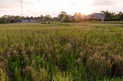 Sonnenuntergang über einem Reisfeld auf Bali Stockbild