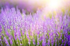 Sonnenuntergang über einem violetten Lavendelfeld Stockbild