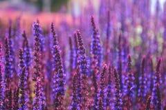 Sonnenuntergang über einem violetten Lavendelfeld am Abend Lizenzfreies Stockbild