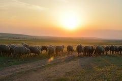 Sonnenuntergang über Feld mit Schafen Lizenzfreie Stockfotos