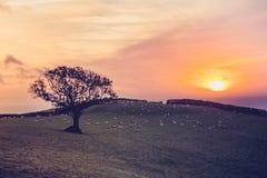 Sonnenuntergang über Feld mit Schafen im Abstand Stockbilder