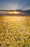 Sonnenuntergang über Gerste Lizenzfreies Stockfoto