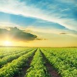 Sonnenuntergang über grünem Feld mit Tomatenbüschen Stockbild