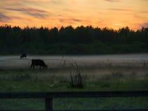 Sonnenuntergang über Kühen auf einem nebeligen Gebiet Lizenzfreies Stockfoto