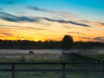 Sonnenuntergang über Kühen auf einem nebeligen Gebiet Stockbild