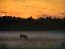 Sonnenuntergang über Kühen auf einem nebeligen Gebiet Stockbilder