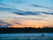 Sonnenuntergang über Kühen auf einem nebeligen Gebiet Lizenzfreie Stockfotos