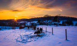 Sonnenuntergang über Kühen auf einem schneebedeckten Bauernhofgebiet in Carroll County Stockbilder