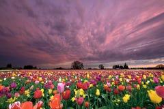 Sonnenuntergang über Tulpe-Feld lizenzfreies stockfoto