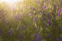 Sonnenuntergang über wilden Blumen eines violetten Feldes lizenzfreie stockfotos