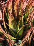 Sonnenuntergang-Aloe lizenzfreie stockfotos