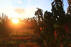 Sonnenuntergang - Apfelgarten Lizenzfreies Stockbild