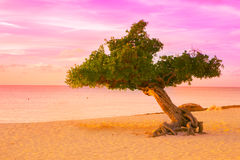 Sonnenuntergang Arubas Divi Divi Tree Lizenzfreies Stockfoto
