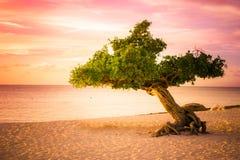 Sonnenuntergang Arubas Divi Divi Tree Stockfoto
