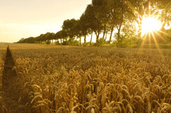 Sonnenuntergang auf dem Gebiet des Weizens Lizenzfreies Stockfoto