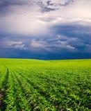 Sonnenuntergang auf dem grünen Feld des Weizens, des blauen Himmels und der Sonne, weiße Wolken. Märchenland Stockfotos