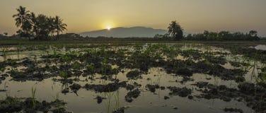 Sonnenuntergang auf dem Reisgebiet Stockfoto