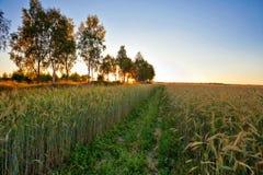 Sonnenuntergang auf dem Sommergebiet mit Roggen Stockfotografie