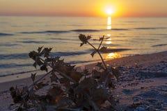 Sonnenuntergang auf dem Strand Die Betriebstrockenen Blumen im Sand Stockfoto