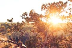 Sonnenuntergang bei Grand Canyon durch die Bäume Stockfotografie