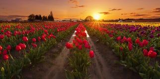 Sonnenuntergang bei Tulip Farm Stockfoto