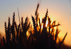 Sonnenuntergang über Weizenfeld. Lizenzfreie Stockfotos