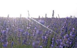 Sonnenuntergang an den Lavendelfeldern in Spanien Lizenzfreie Stockfotos