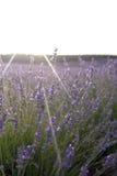 Sonnenuntergang an den Lavendelfeldern in Spanien Lizenzfreie Stockbilder
