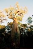 Sonnenuntergang an der Baobab-Allee stockbild