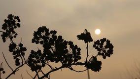Sonnenuntergang, die trockene Niederlassung im Wind Hintergrundbeleuchtung stock video