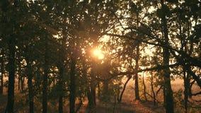 Sonnenuntergang in einem Eichenwaldherbstwald bei Sonnenuntergang Video in der Bewegung stock video