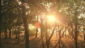 Sonnenuntergang in einem Eichenwaldherbstwald bei Sonnenuntergang Video in der Bewegung stock footage