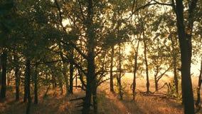 Sonnenuntergang in einem Eichenwaldherbstwald bei Sonnenuntergang Video in der Bewegung stock video footage