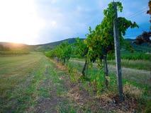 Sonnenuntergang in einem Weinberg lizenzfreie stockbilder