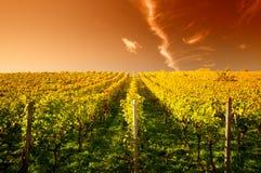 Sonnenuntergang in einem wineyard Lizenzfreies Stockfoto